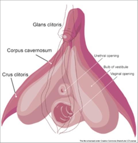 Cơ quan sinh dục nữ