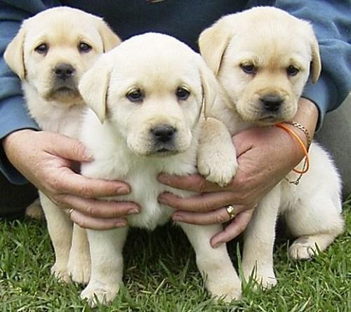Tất cả chúng ta đều biết chó là một thú cưng rất được chiều chuộng trong các gia đình hiện nay. Nó không những là thú giữ nhàtrợ thủ đắc lực để chống trộm mà