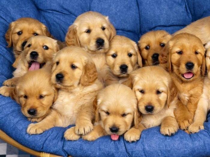 Đối với người mới nuôi và đã nuôi chó, thì việc chọn được một con chó ưng ý , đạt được tiêu chí mà giống ấy đề ra là không đơn giản .Vì nếu chót mua một con