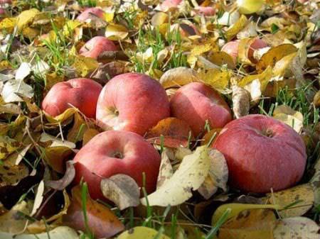 Ý nghĩa của quả táo trong tình yêu và câu chuyện chưa kể
