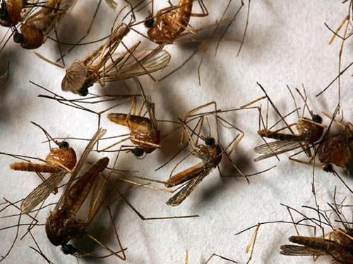 Cách đuổi muỗi trong nhà bằng phương pháp tự nhiên
