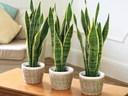 7 loại cây 'kháng' bức xạ, hút sạch sóng điện thoại nhất định phải trồng trong nhà