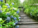 Kỹ thuật trồng hoa cẩm tú cầu cho hoa nở đẹp