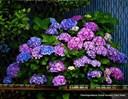 Kỹ thuật trồng hoa cẩm tú cầu chi tiết