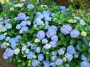 Kỹ thuật trồng hoa cẩm tú cầu tốt nhất