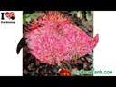 Video Clip: Kỹ thuật trồng hoa cẩm tú cầu cho hoa nở đẹp
