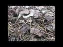 Video Clip: Những công dụng chữa bệnh của cây chè vằng