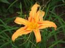 Tác dụng chữa bệnh của hoa hiên: thanh nhiệt, tiêu đờm