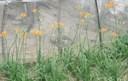 Tác dụng chữa bệnh của hoa hiên: chữa tắc sữa