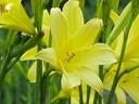 Tác dụng chữa bệnh của hoa hiên: chữa viêm đại tràng