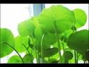 Video Clip: Cách làm sinh tố rau má và công dụng kỳ diệu của rau má