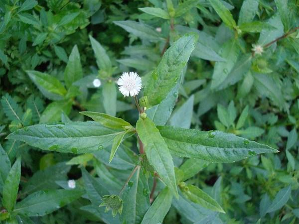 Tác dụng chữa bệnh của cây cỏ mực: chữa râu tóc bạc sớm