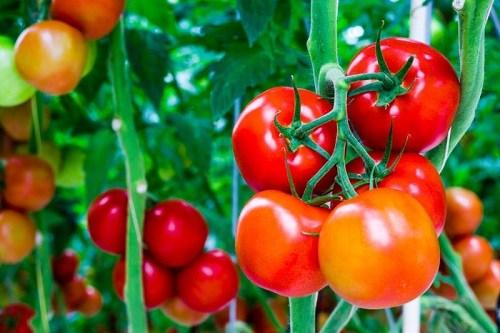 Khác với cà chua chín tự nhiên, cà chua giấm bằng thuốc hóa học thường cứng, không có mùi thơm và không đỏ mọng. ảnh minh họa Cà chua là thứ quả được các bà